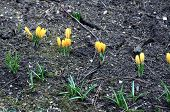 pic of early spring  - Yellow crocus flowers in the garden in early spring  - JPG