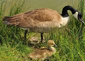 stock photo of baby goose  - Canada Goose parent with gosling in the grass by lake edge - JPG