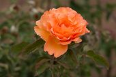 stock photo of rose close up  - Close up view of a nice orange rose in the garden - JPG