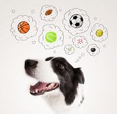 image of border collie  - Cute black and white border collie thinking about balls in a thought bubbles above her head - JPG