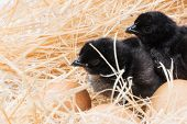 foto of born  - Newly born chick lying beside its brown egg - JPG