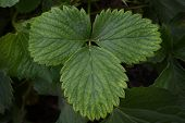 stock photo of strawberry plant  - The beautiful young leaves of a strawberry plant - JPG