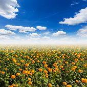 pic of marigold  - Orange pot marigold  - JPG