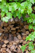pic of log fence  - Green leaves of wild plants on the background wall of wood logs for the stove - JPG