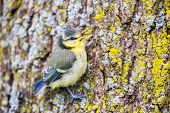 foto of tit  - Young colorful blue tit hanging at oak tree trunk - JPG