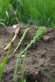 picture of horsetail  - Three stems of the field horsetail (Equisetum arvense). The left one is a fertile spore bearing stem while the other two are sterile.