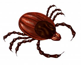 picture of parasite  - Tick insect close up illustration isolated on a white background as a symbol of a parasite arachnid that sucks blood and infects animals with bacteria and viruses with possible illness as lyme disease and fever - JPG