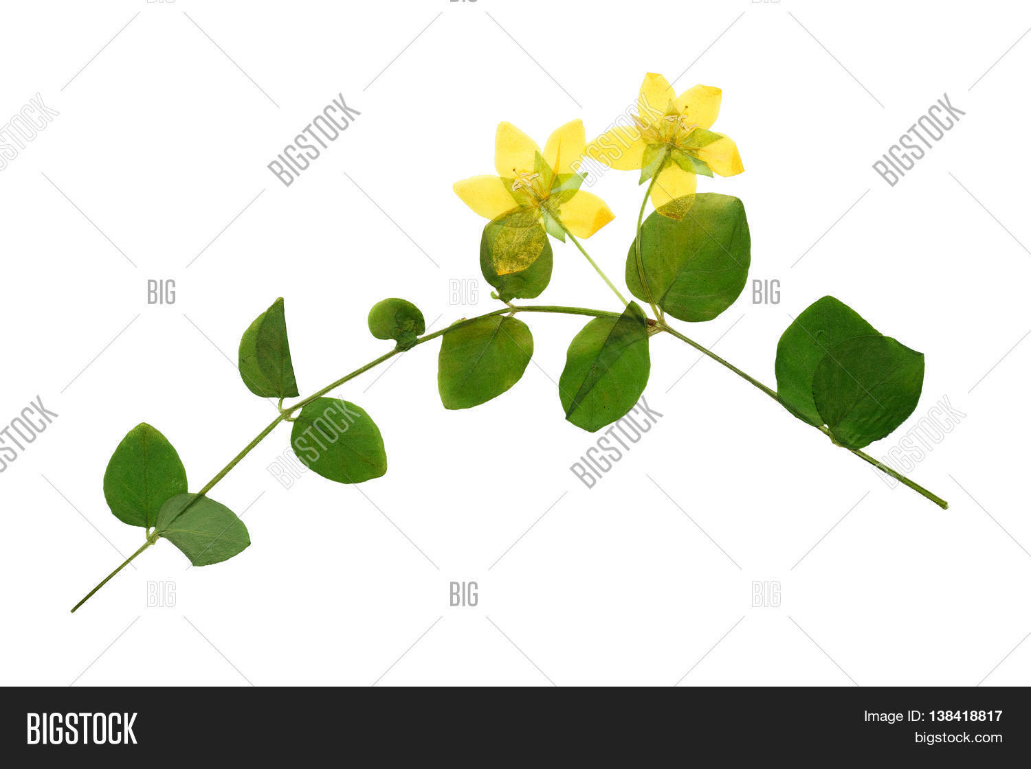 How to scrapbook dried flowers - Pressed And Dried Flowers Of Loosestrife Meadow Or Tea With Green Leaves On Creeping Stem