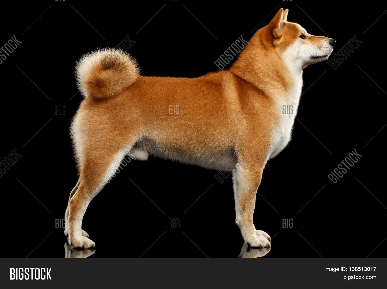 cute pedigreed red shiba inu breed dog standing on isolated black background side view stock. Black Bedroom Furniture Sets. Home Design Ideas