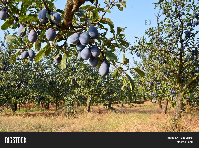 plum orchard fruit growing serbia image amp photo bigstock