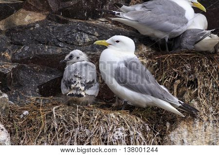 Kittiwake on a nest with a chick