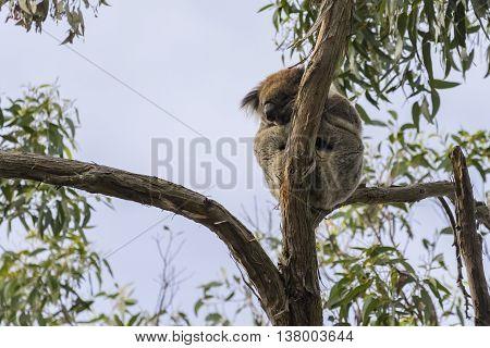Koala resting on a tree branch, Victoria, Australia