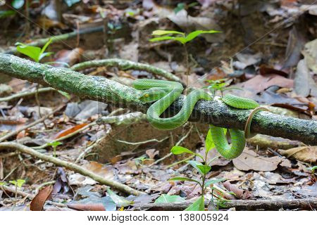 Beautiful bright green color White-lipped Pit Viper snake wrapped around a tree branch in a forest.