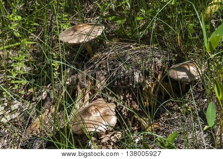 Several inedible mushrooms on a forest glade