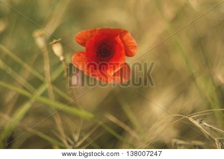 Red poppy with out of focus, poppy field in blurred background. Shallow depth of field, creative picture of an old Russian manipulative optics.