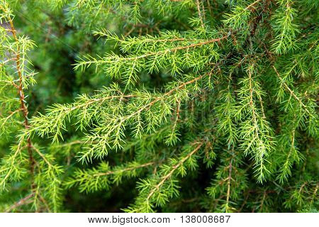 background branches forest green juniper closeup shot