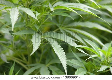 Leafy plant marijuana close up with green and large leaves