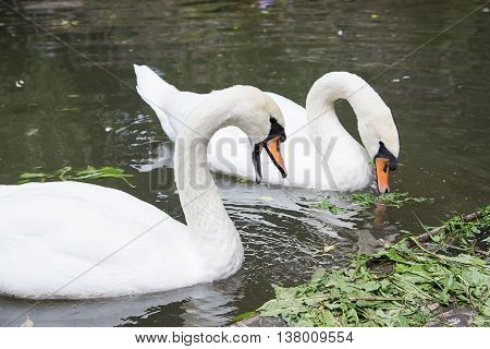 pair of swans bird eat in water
