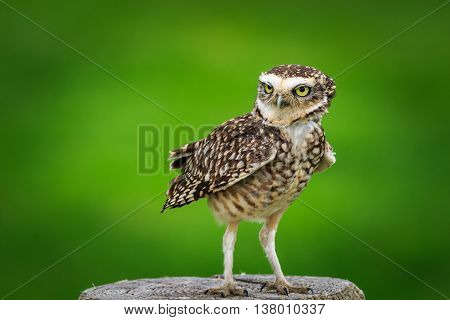 Burrowing owl (Athene cunicularia) perched on a stump