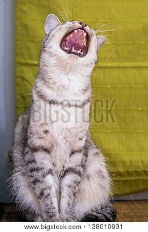 funny gray cat yawns striped tabby close up