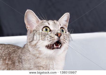 cat meows gray stripped tabby American shorthair