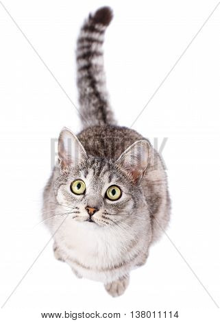 gray striped tabby cat American Shorthair isolated