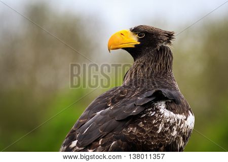Steller's sea eagle (Haliaeetus pelagicus) portrait closeup