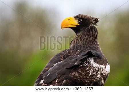 Steller's sea eagle (Haliaeetus pelagicus) portrait closeup