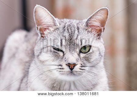 gray striped tabby cat winks close-up portrait