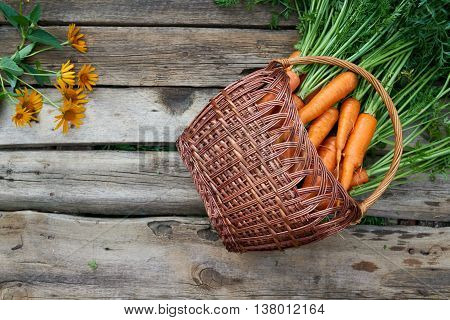 Top view, flat lay of wicker basket with fresh carrots with green leaves over rustic weathered wooden background with copy space
