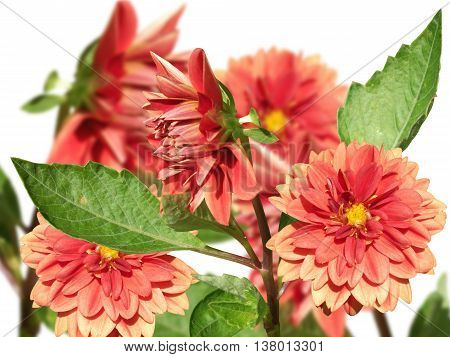 Delicate floral background isolated red dahlia flowers