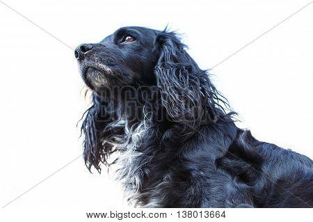 black spaniel dog animal portrait isolated on white