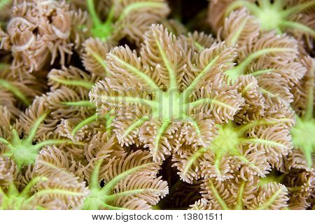 Macro Image Of Soft Coral Polyps
