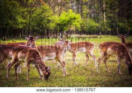 Group Rutting Red Deer