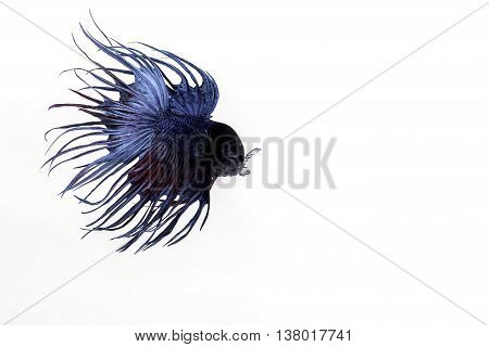 The Siamese fighting fish (Betta splendens), also sometimes colloquially known as the Betta, is a species in the Gourami family which is popular as an aquarium fish