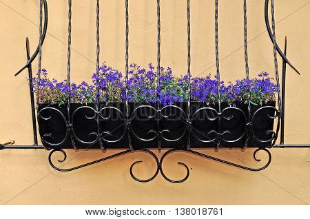 Light violet flowers of Lobelia - in Latin Lobelia Erinus - in the wrought metal pot attached to the wall