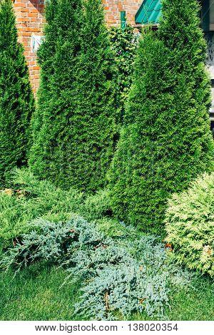 Landscape design, evergreen trees and shrubs in sunlight