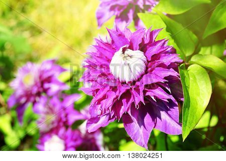 Beautiful purple clematis on blurred nature background