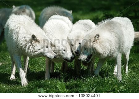 Arctic wolves (Canis lupus arctos) standing in grass putting their heads together