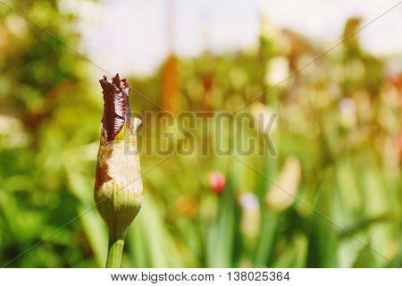 Unopened purple iris bud on blurred nature background