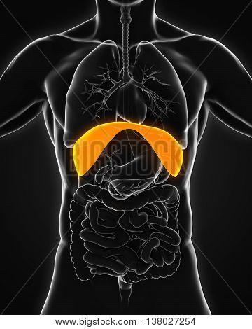 Human Diaphragm Anatomy Illustration . 3D rendering