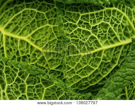 fresh savoy cabbage leaf as a texture