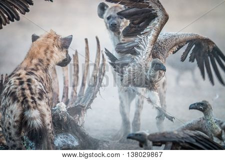 Spotted Hyena At A Carcass With A Flying Vulture.