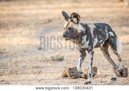 African Wild Dog Walking In The Kruger National Park.
