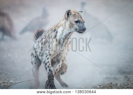 Running Spotted Hyena With Vultures In The Background.