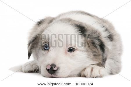 Blue Merle Border Collie puppy, 6 weeks old, lying in front of white background