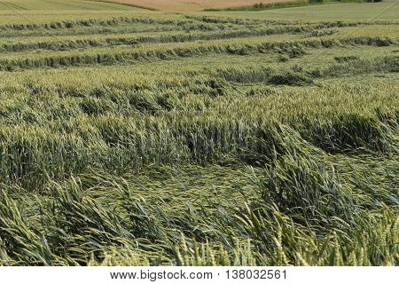 Storm Damage In Agriculture In A Cornfield