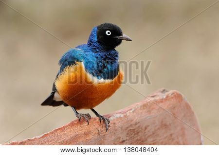 Colourful Bird Superb Starling