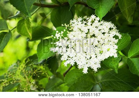 Sprig and flower of sambucus with green leaves on a tree.