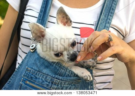 chihuahua puppy in the bosom of the girl